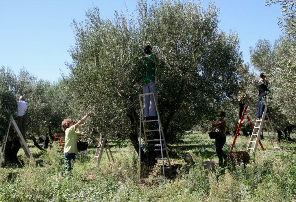 Cueillette d'olives vertes au Domaine L'Oulivie