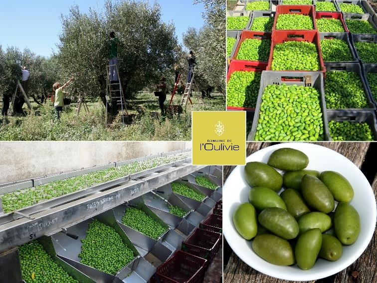Les olives Lucques primeurs du Domaine L'oulivie croquantes et savoureuses